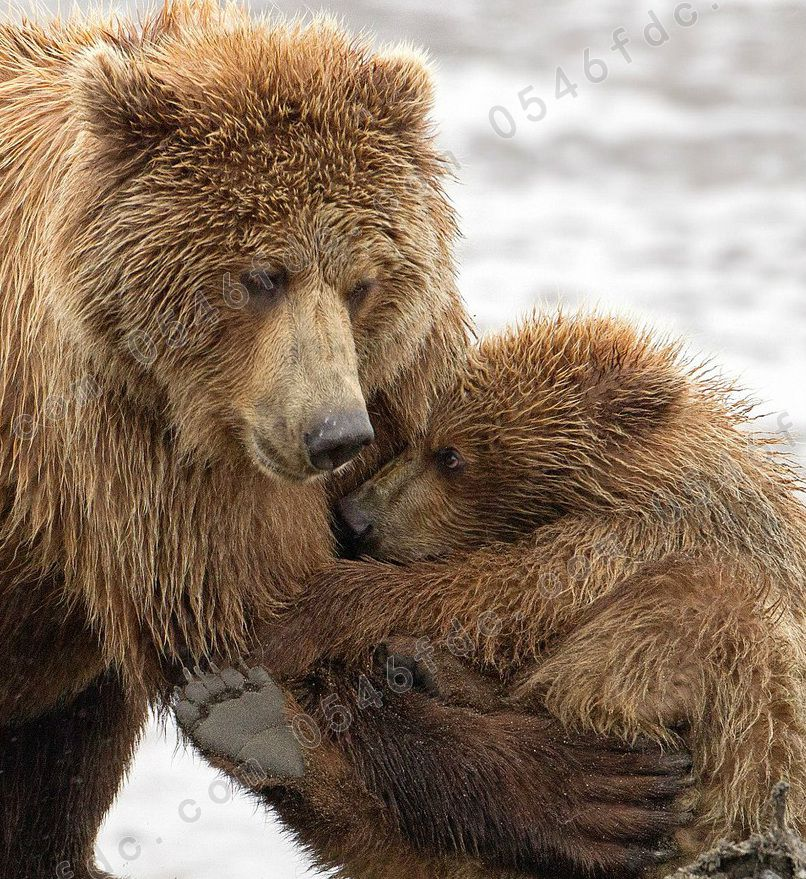 熊妈妈拥抱小熊崽 来自动物界的母爱